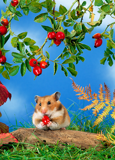 ROD 01 KH0017 01 © Kimball Stock Golden (aka Syrian) Hamster Eating Red Berry Under Shrub