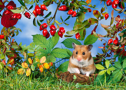 ROD 01 KH0018 01 © Kimball Stock Golden (aka Syrian) Hamster Sitting Under Red Berry Shrub