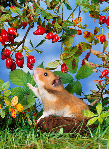 ROD 01 KH0021 01 © Kimball Stock Golden (aka Syrian) Hamster Reaching For Red Berry On Shrub