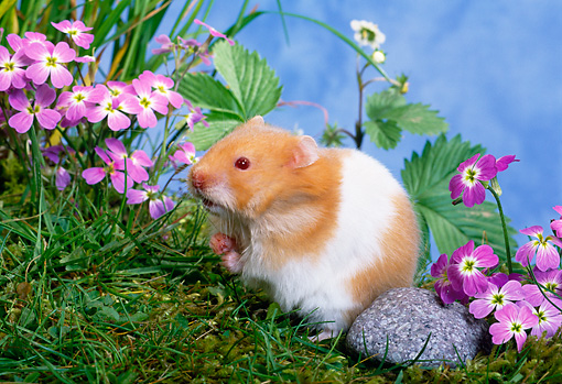 ROD 01 KH0022 01 © Kimball Stock Syrian Hamster Sitting On Grass By Purple Flowers