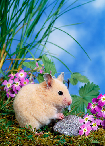ROD 01 KH0023 01 © Kimball Stock Syrian Hamster Sitting On Grass By Purple Flowers