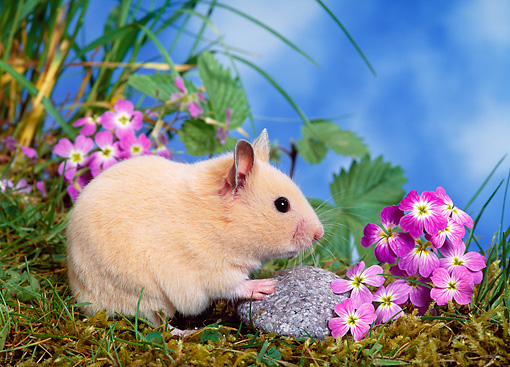 ROD 01 KH0024 01 © Kimball Stock Syrian Hamster Sitting On Grass By Purple Flowers