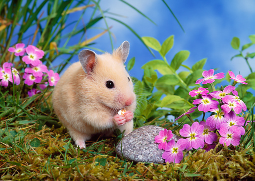 ROD 01 KH0025 01 © Kimball Stock Syrian Hamster Sitting On Grass By Purple Flowers Eating
