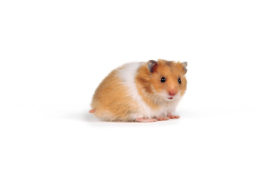 ROD 01 RK0001 01 © Kimball Stock Profile Shot Of Hamster On White Seamless Background