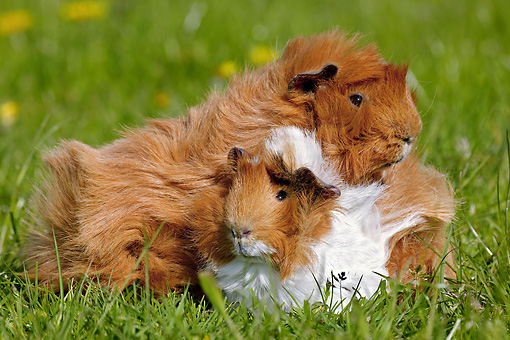 ROD 02 GL0001 01 © Kimball Stock Portrait Of Two Guinea Pigs On Grass