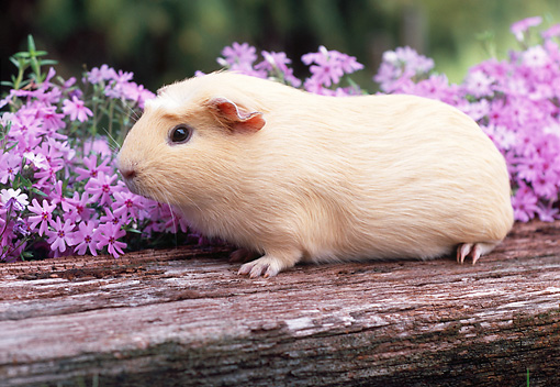 ROD 02 GR0002 01 © Kimball Stock Guinea Pig Sitting On Log By Pink Flowers