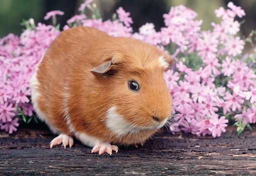 ROD 02 GR0003 01 © Kimball Stock Guinea Pig Sitting On Log By Pink Flowers