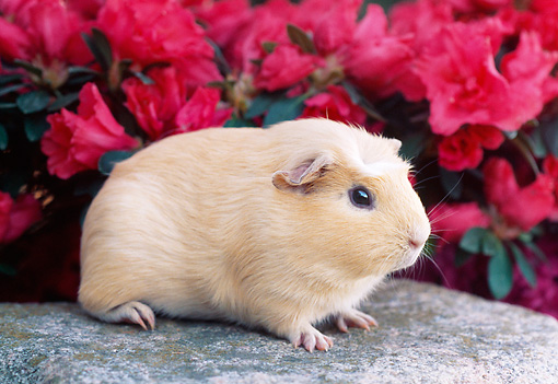 ROD 02 GR0004 01 © Kimball Stock Guinea Pig Sitting On Rock By Pink Flowers