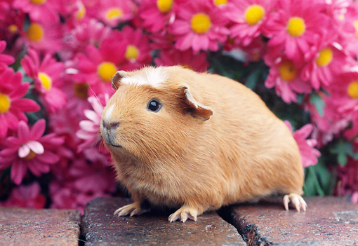 ROD 02 GR0005 01 © Kimball Stock Guinea Pig Sitting On Bricks By Pink Flowers