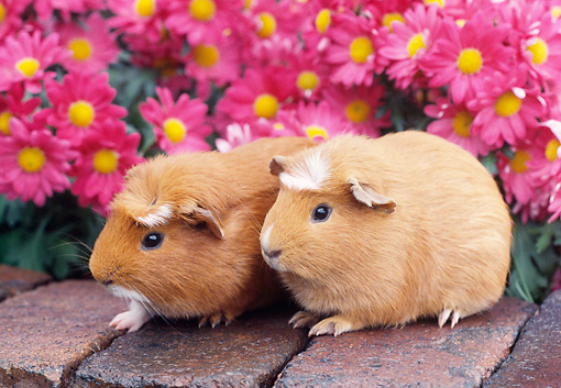 ROD 02 GR0006 01 © Kimball Stock Guinea Pigs Sitting On Bricks By Pink Flowers