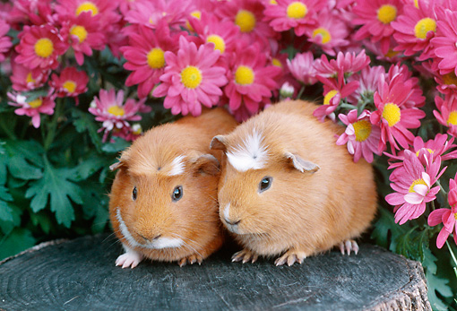 ROD 02 GR0007 01 © Kimball Stock Guinea Pigs Sitting On Stump By Pink Flowers