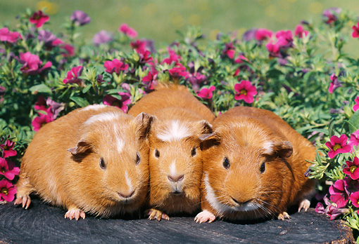 ROD 02 GR0008 01 © Kimball Stock Guinea Pigs Sitting On Stump By Pink Flowers