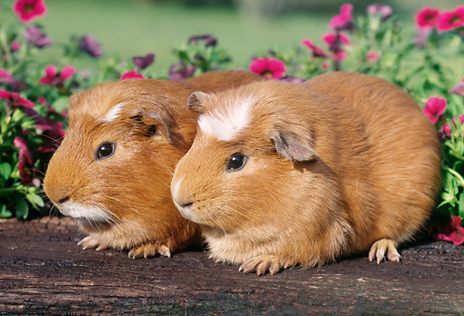 ROD 02 GR0009 01 © Kimball Stock Guinea Pigs Sitting On Log By Pink Flowers