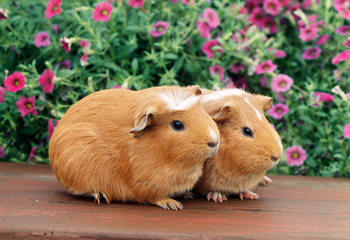 ROD 02 GR0010 01 © Kimball Stock Guinea Pigs Sitting On Bench By Pink Flowers