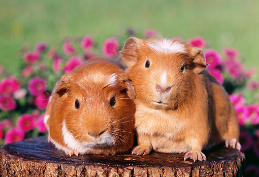 ROD 02 GR0011 01 © Kimball Stock Guinea Pigs Sitting On Stump By Pink Flowers