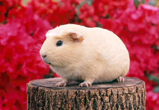 ROD 02 GR0013 01 © Kimball Stock Guinea Pig Sitting On Stump By Pink Flowers