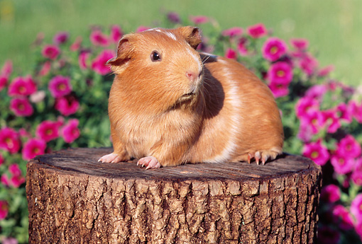 ROD 02 GR0014 01 © Kimball Stock Guinea Pig Sitting On Stump By Pink Flowers