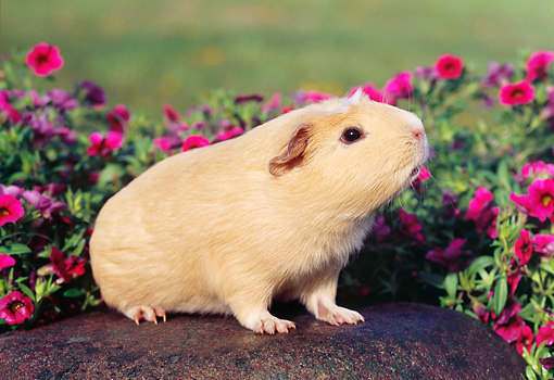 ROD 02 GR0015 01 © Kimball Stock Guinea Pig Sitting On Rock By Pink Flowers