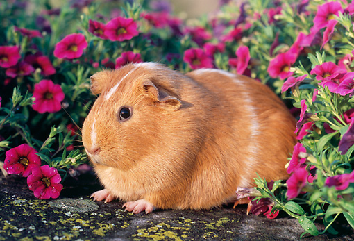ROD 02 GR0016 01 © Kimball Stock Guinea Pig Sitting On Rock By Pink Flowers