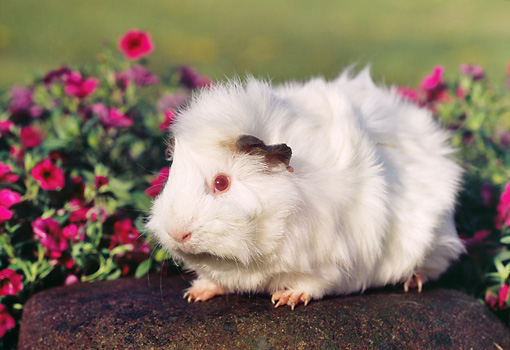 ROD 02 GR0017 01 © Kimball Stock Guinea Pig Sitting On Rock By Pink Flowers