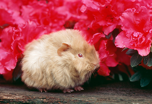 ROD 02 GR0018 01 © Kimball Stock Guinea Pig Sitting On Log By Pink Flowers
