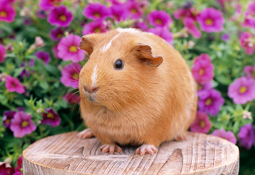 ROD 02 GR0019 01 © Kimball Stock Guinea Pig Sitting On Stump By Pink Flowers
