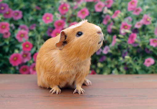 ROD 02 GR0020 01 © Kimball Stock Guinea Pig Sitting On Bench By Pink Flowers