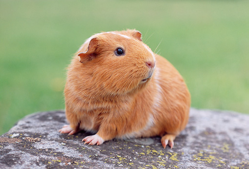 ROD 02 GR0023 01 © Kimball Stock Guinea Pig Sitting On Rock