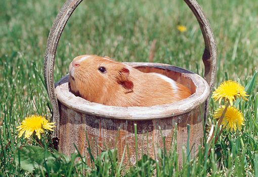 ROD 02 GR0028 01 © Kimball Stock Guinea Pig Sitting In Basket On Grass