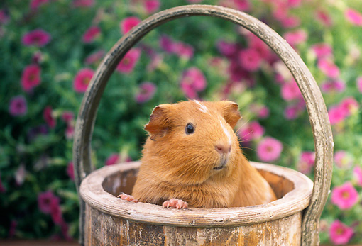 ROD 02 GR0029 01 © Kimball Stock Guinea Pig Sitting In Basket By Pink Flowers