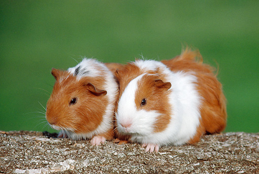 ROD 02 GR0031 01 © Kimball Stock Smooth-Haired Guinea Pigs Sitting On Log