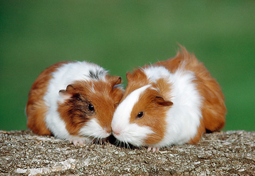 ROD 02 GR0032 01 © Kimball Stock Smooth-Haired Guinea Pigs Sitting On Log