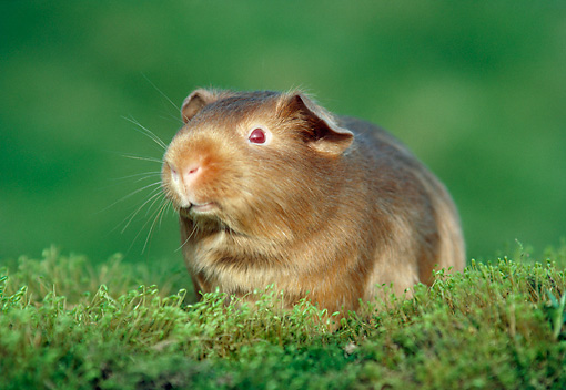 ROD 02 GR0033 01 © Kimball Stock Brown Guinea Pig Sitting On Moss