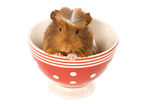 ROD 02 JE0003 01 © Kimball Stock Guinea Pig Sitting In Red And White Bowl Seamless