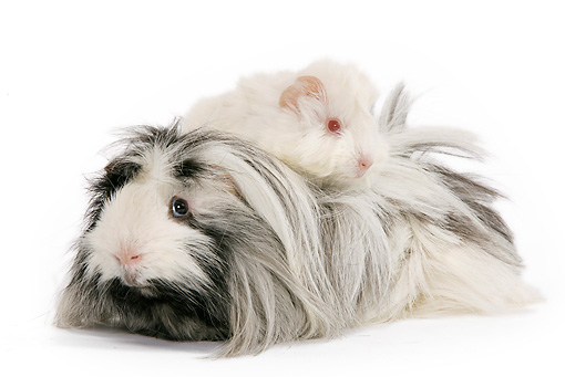 ROD 02 JE0004 01 © Kimball Stock Guinea Pigs Laying On Each Other On White Seamless