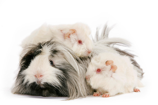 ROD 02 JE0005 01 © Kimball Stock Guinea Pigs Laying On Each Other On White Seamless