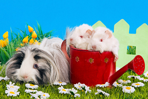 ROD 02 JE0006 01 © Kimball Stock Guinea Pigs On Grass And In Watering Can