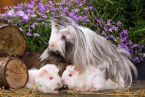 ROD 02 JE0007 01 © Kimball Stock Guinea Pigs By Logs And Purple Flowers