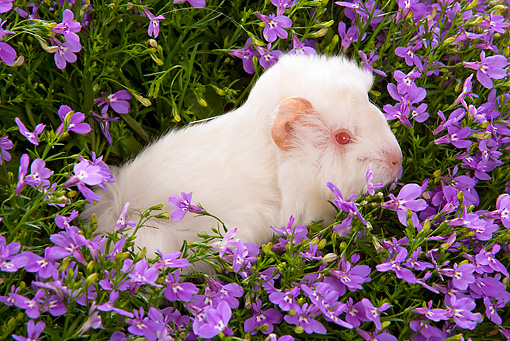 ROD 02 JE0008 01 © Kimball Stock Guinea Pig Sitting In Purple Flowers