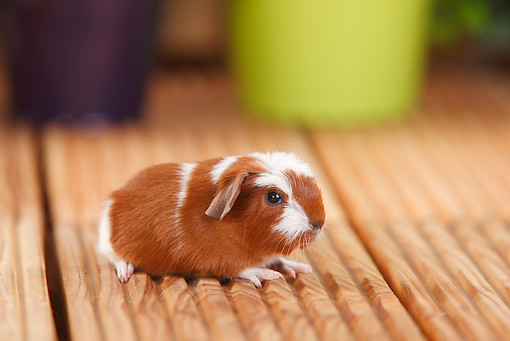 ROD 02 PE0001 01 © Kimball Stock Young English Crested Guinea Pig Sitting On Deck By Potted Plants