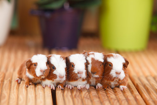 ROD 02 PE0002 01 © Kimball Stock Five Young English Crested Guinea Pigs Sitting On Deck By Potted Plants