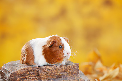 ROD 02 PE0004 01 © Kimball Stock Sheltie Guinea Pig Sitting On Stump By Autumn Leaves