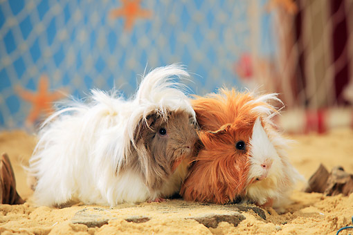 ROD 02 PE0005 01 © Kimball Stock Two Angora Guinea Pigs On Sand By Fishing Net