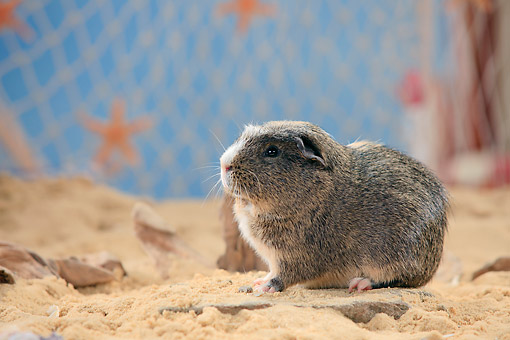 ROD 02 PE0006 01 © Kimball Stock English Crested Guinea Pig Sitting On Sand By Fishing Net