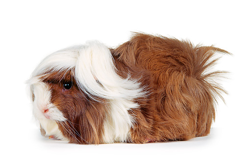 ROD 02 RK0002 01 © Kimball Stock Brown And White Guinea Pig Profile On White Seamless Background