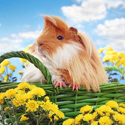 ROD 02 XA0001 01 © Kimball Stock Guinea Pig Sitting In Basket With Flowers