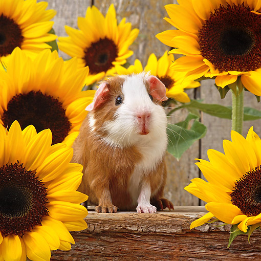 ROD 02 XA0005 01 © Kimball Stock Guinea Pig Sitting On Log With Flowers