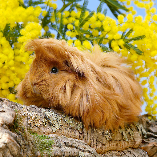 ROD 02 XA0011 01 © Kimball Stock Guinea Pig Sitting On Rock By Flowers