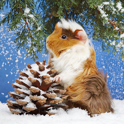ROD 02 XA0012 01 © Kimball Stock Guinea Pig Sitting In Snow With Pinecone