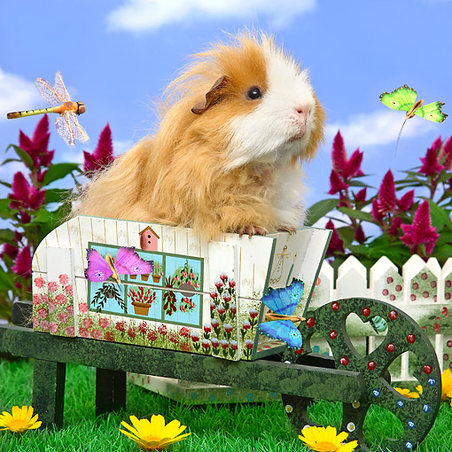 ROD 02 XA0016 01 © Kimball Stock Guinea Pig Sitting In Wheelbarrow By Flowers And Dragonfly